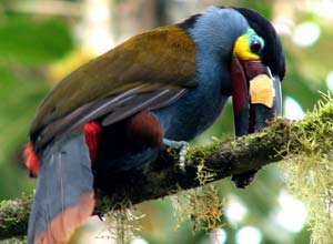 Mountain toucan, cloudforest, Ecuador