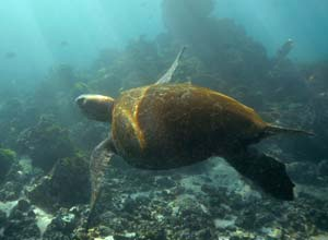 Turtle swimming in Galapagos