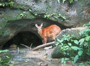 Deer in rainforest
