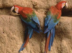 Macaws on clay lick