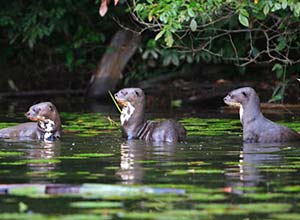 Otters at Sandoval