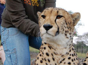 Hands-on cheetah time