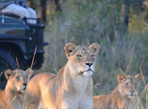 Lions on safari in Kruger