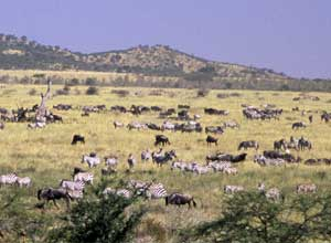 The herds head for the northern Serengeti