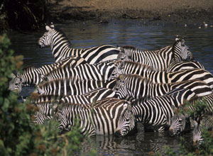 Zebras are among the wildlife in the Serengeti