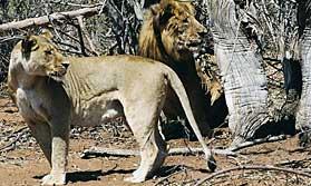 Chobe Lions