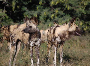 Wild dogs near Lagoon Camp