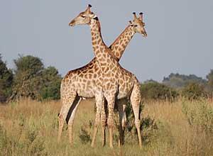 Giraffe in Savuti