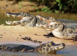 Caimans in the Pantanal, Brazil
