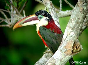 Birdlife in Amazon, Brazil
