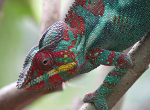 Reptiles abound in Reniala Reserve