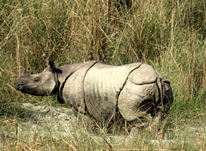 Rhino from elephant-back, Chitwan