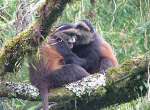 Golden monkeys in the forest