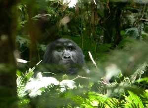 Silverback gorilla near Buhoma Lodge