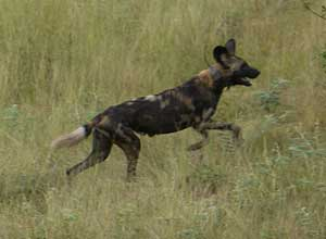 Wild dog in South Luangwa