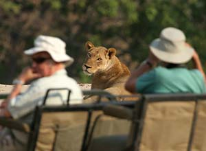 Game drive lion, South Luangwa, Zambia