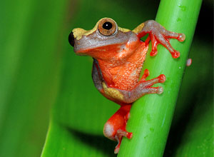 See frogs in the Amazon rainforest