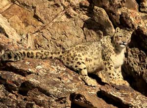 Snow leopard on the rocks