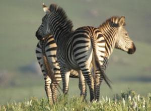 Zebras in Nyika National Park