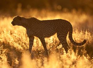 Cheetah at AfriCat Okonjima