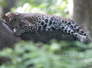 Leopard in Chitwan National Park