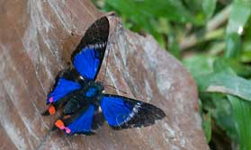 Peruvian Amazon butterfly