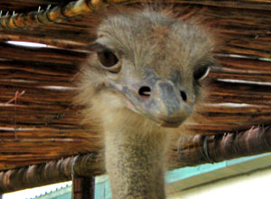 Visit an ostrich farm en route to Oudtshoorn