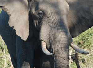 See elephants in Tembe Elephant Park