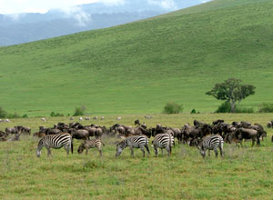 Zebras in the Crater, Tanzania