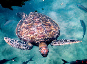 See turtles as you snorkel and dive in Zanzibar
