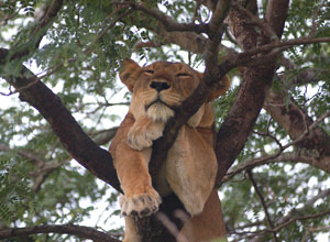 Lion in a tree at Ishasha