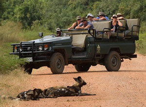 wilddogs in road