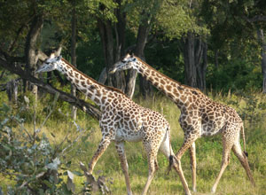 Giraffes near the seasonal camp